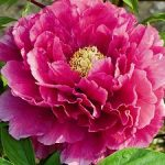 Breast Cancer Care tree peony