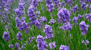 Five ways with…lavender