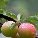 Plum delicious: our favourite Victoria plum recipes