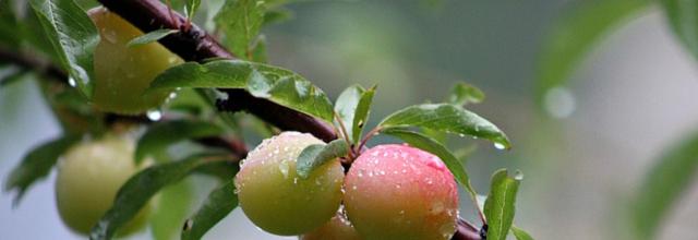 Plum delicious: our favourite Victoria plum recipes