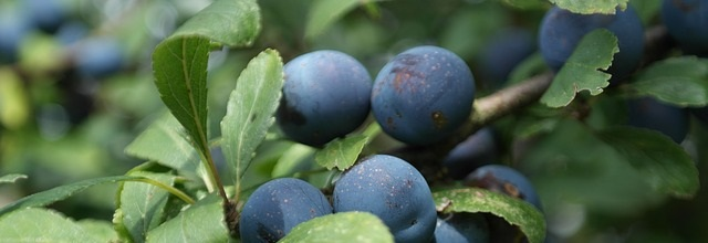 Sloe and easy: delicious sloe jelly recipe