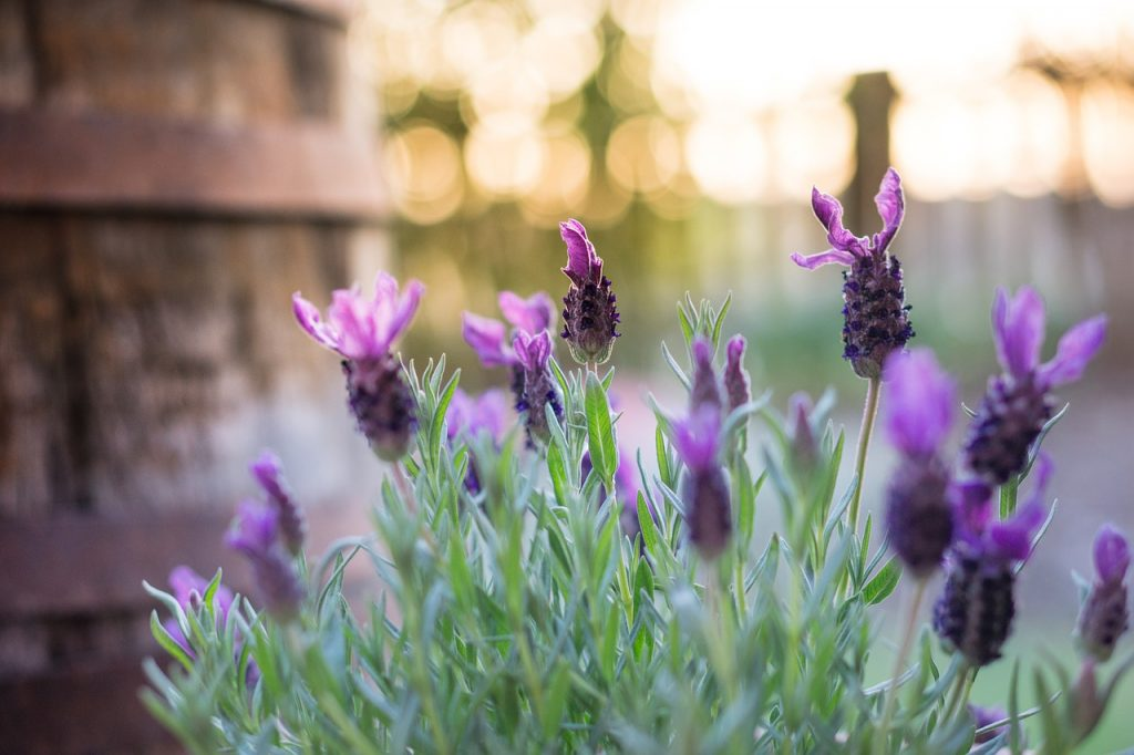 Lavender plants add a splash of colour to your garden