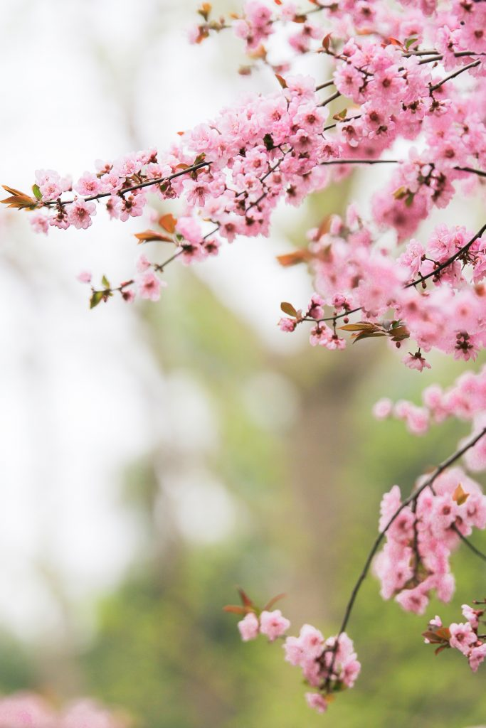 Gorgeous pink tree blossom in a spring garden