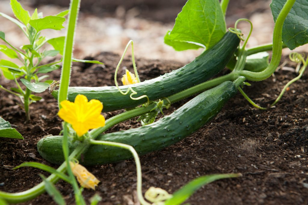 Home grown courgettes ready to be picked